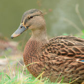 Schattig mallard duck close-up — Stockfoto
