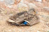 Mallard Duck Sitting on the Shore Close-Up — Stock Photo
