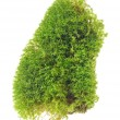 Green Moss Isolated on White Background — Stock Photo #14392239
