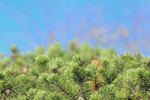 Bushy Pine Trees on Blue Background — Stock Photo