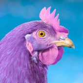 Purple Chicken with Pink Comb and Wattle on Blue Background — Stock Photo