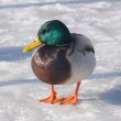 Mallard Duck on Frozen Lake — Stock Photo #15370421