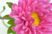 Beautiful Pink Aster Flower Close-Up — Stock Photo