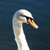 Cygne blanc gracieux, baignades dans le lac — Photo