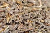 Dried Salvia Officinalis (Sage) Herb Close-Up — Foto Stock