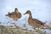 Mallard Ducks Walking on Snow — Stock Photo