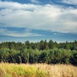 Summer Landscape with Young Pine Trees — Stock Photo