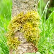 Green Moss on Tree Trunk — Stock Photo #20147855
