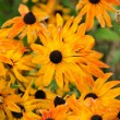 Fading Autumn Rudbeckia Flowers — Stock Photo