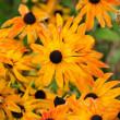 Fading Autumn Rudbeckia Flowers — Stock Photo