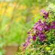 Beautiful Clematis Bush with Purple Flowers in Garden - Stock Photo