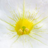 Middle of Flower with Stamens and Pistil Macro — Stock Photo