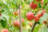 Red Apples Growing on Apple Tree — Stock Photo