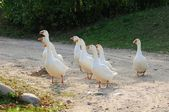 Gaggle of White Domestic Geese — Stock Photo