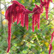 Amaranth (Love-Lies-Bleeding) by Chain-Link Fence — Stock Photo #21851537