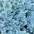 Evergreen Blue Juniper Tree Close-Up — Stock Photo