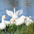Geese in the Lake by the Shore - Stock Photo