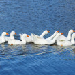 Domestic Geese Swimming in the Lake - Stock Photo