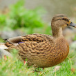 Stock Photo: Mallard Duck Close-Up