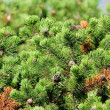 Sunlit Pine Trees with Cones in Forest — Stock Photo