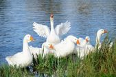 Geese in the Lake by the Shore — Stock Photo