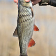 Fisherman Holding His Catch, European Chub Fish - Stock Photo