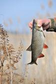 Fisherman Holding Chub Fish (Leuciscus Cephalus) — Stock Photo