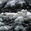 Blue Spruce Branches with Snow in Winter - Stock Photo