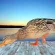 Stock Photo: Duck on Deck by Lake