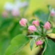 Pink Flower Buds on Apple Tree in Spring — Stock Photo