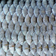 Stock Photo: Real Roach Fish Scales Background