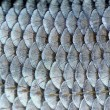 Real Roach Fish Scales Background — Foto Stock