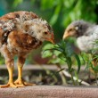 Cute Baby Chickens — Stock Photo