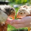 Chickens Eating from Hand — Stock Photo