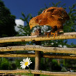 Stock Photo: Chicken on Wicker Fence Looking Down at Flower