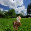 Stock Photo: Curious Baby Chicken on Green Lawn