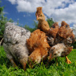 Baby Chickens Eating from Ground — Stock Photo #26210841