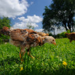 Stock Photo: Chickens Walking in the Yard