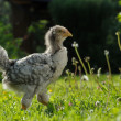 Young Chicken Walking on Lawn — Stock Photo #26211553