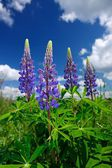 Violet Lupine Flowers — Stock Photo