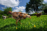 Chickens Walking in the Yard — Stock Photo