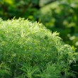 Green Southernwood (ArtemisiAbrotanum) Shrub — Stock Photo #26300767