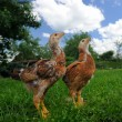 Chickens on Green Lawn Looking Up — Stock Photo