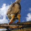 Stock Photo: Back of Chicken on Wicker Fence