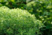 Green Southernwood (Artemisia Abrotanum) Shrub — Stock Photo