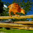Stock Photo: Chicken Walking on Wicker Fence
