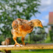 Stock Photo: Mottled Baby Chicken on Perch