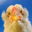 Stock Photo: Chicken Close-Up Against Blue Sky
