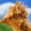 Stock Photo: Crested Chicken in Profile