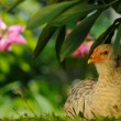 Stock Photo: Chicken Sitting Under Bush
